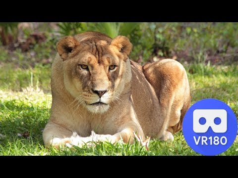 how-did-big-cat-rescue-get-started?--vr-180-3d