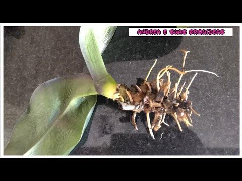 Salvando Orquídea com podridão, folhas murchas e sem raiz.