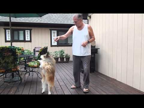 Charlie the powder puff Chinese Crested dancing for treats