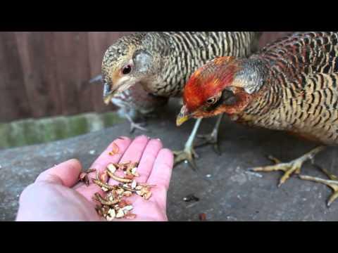 Hand feeding Golden Pheasants and Bobwhite Quail