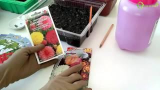 видео Георгины однолетние: сорта, посадка, уход, выращивание из семян