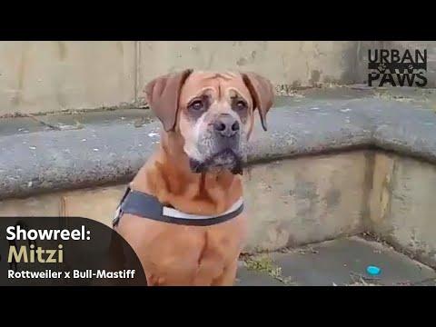 Dog Training: Mitzi (Rottweiler x Bull-mastiff)