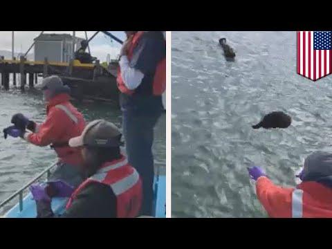 Bayi berang-berang laut bertemu dengan ibunya di California - TomoNews