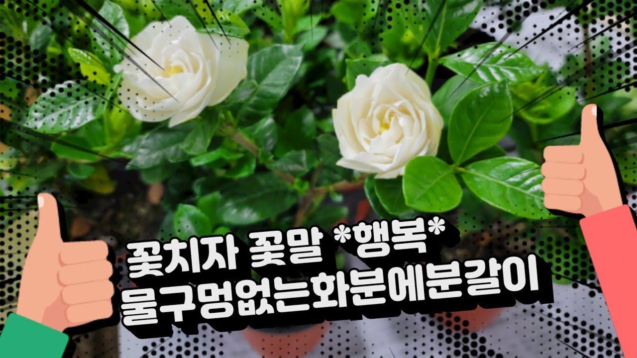 꽃치자 물구멍없는화분에 분갈이~~~~^