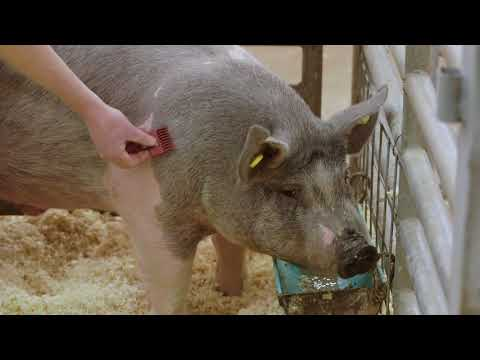Show Pig Clipping
