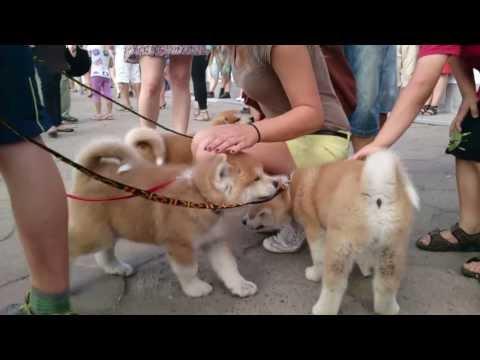 AKITA - hodowla Yeti Yeti - szczeniaczki wśród dzieci