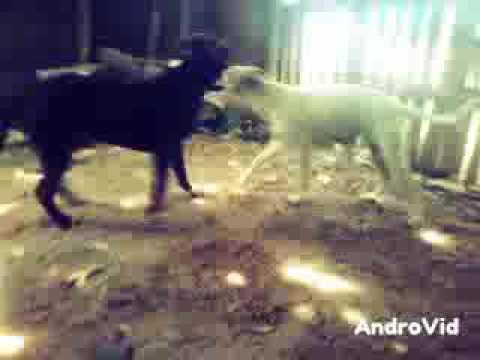 Pit-Bull y dogo argentino - YouTube