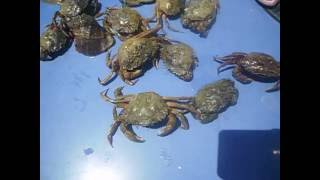 Вот текие крабы я ловил на черном море в одессе(Крабы у черного моря., 2016-07-13T12:45:24.000Z)