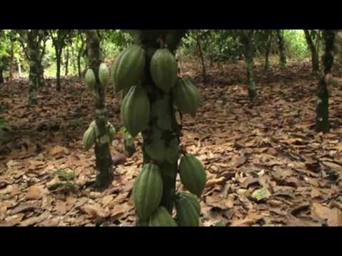 The Golden Pod – Cocobod Profile (Ghana Cocoa Board)