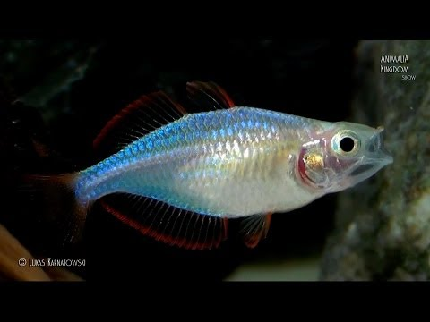Dwarf Neon Rainbowfish (Melanotaenia Praecox) - Young Fishes - Animalia Kingdom Show