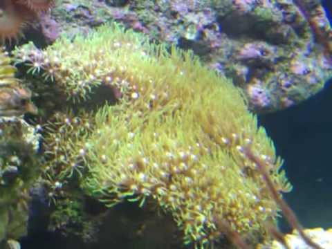 How to care for Green Star Polyp Coral YouTube