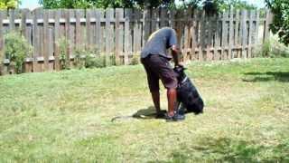 Miami Dog Training -bo The Snauzer Training In Basic Obedience. K9 Enforcement Training