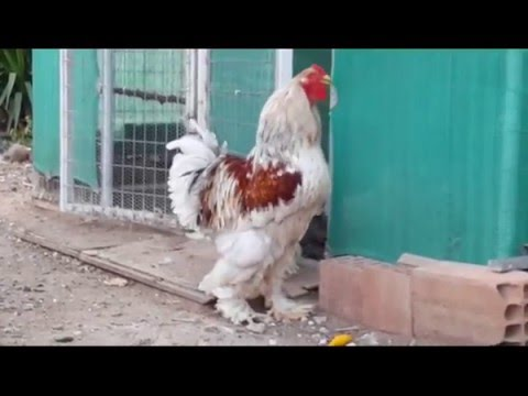 Brahma rooster crowing (kokoras greece)