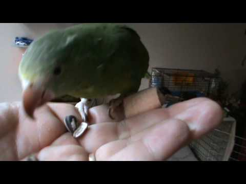 Binky the Cobalt winged eating and kiss
