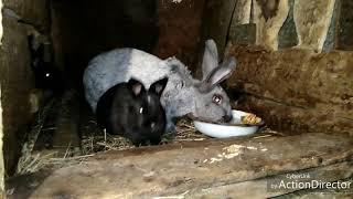 Вздутие у кролика. Пытаюсь вылечить.