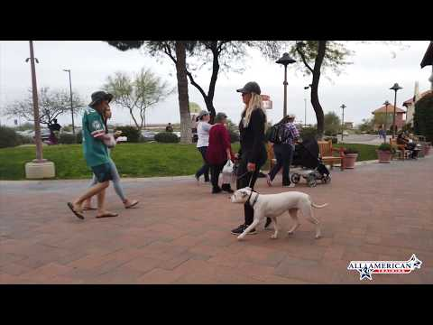 pitbull-hyper,-pulls-hard-on-leash-transformation--all-american-k-9