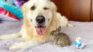Cute Baby Bunnies, Golden Retriever and Budgie - Amazing Friendship