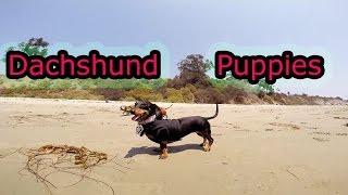 Dachshund - Dachshund Puppies At Beach As Fun Day