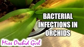Orchid Disease - Bacterial Brown Rot, spotting, treating and preventing