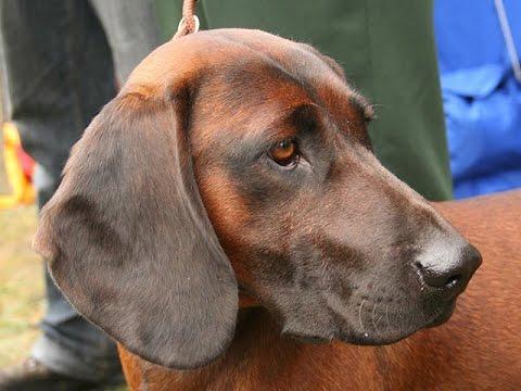 Bavarian Mountain Hound (Bayerischer Gebirgsschweisshund) - Dog Breed