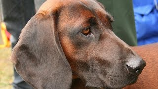The Bavarian Mountain Hound is a relatively newly invented breed wi...