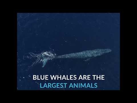 Endangered Blue Whales   Azula
