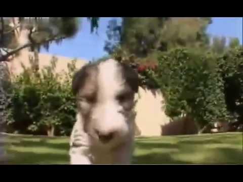 О породе собак - Жесткошерстный фокстерьер