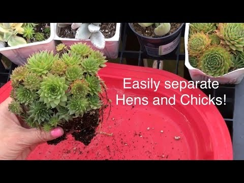 How To Easily Propagate Dividing Separate Hens And Chicks