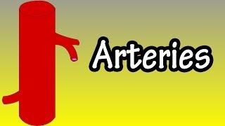 Arteries - Functions Of Arteries