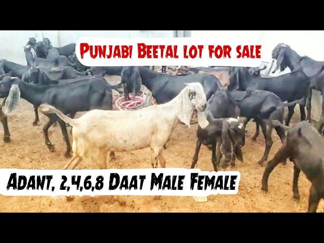 Punjabi Beetal Goat kids 🐐 | TravelerBase | Traveling Tips