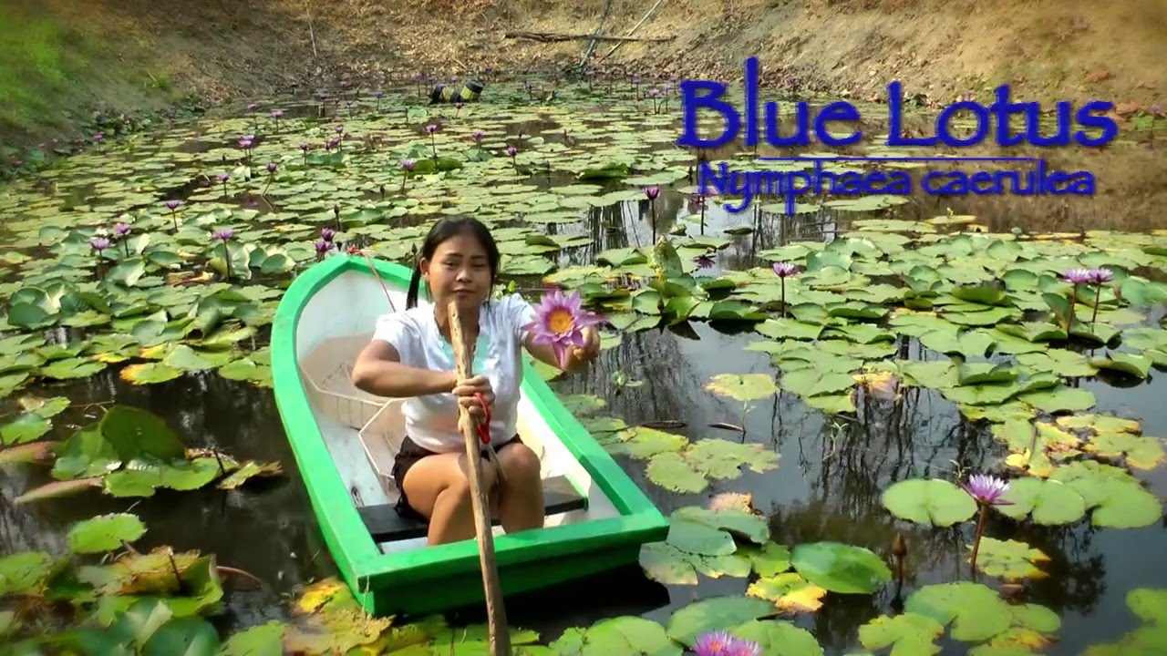 Weed Hunters Thailand S1e02 Harvesting Sacred Blue Lotus Nymphaea