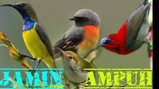 suara burung untuk pikat burung paling ampuh