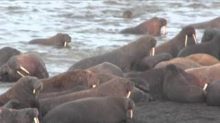 USGS Science: Walrus Haul-Out 2011