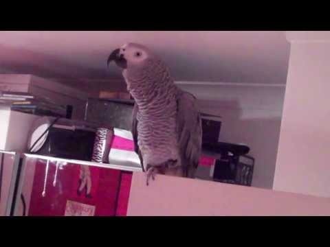 Amazing African Grey Parrot Talking, Spelling, Counting Saying all his favourite movie quotes!