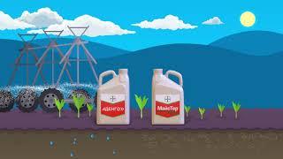 Майстер Пауэр + Аденго - гербицидная защита кукурузы от Bayer
