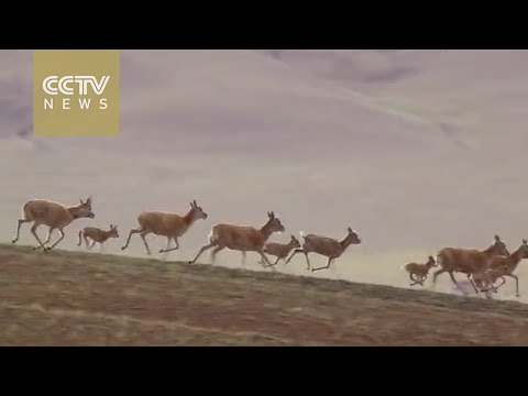 Watch: Tens of thousands of Tibetan antelopes migrate southwards