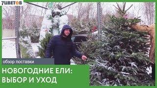 как выбрать елку