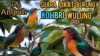 Download SUARA PIKAT KOLIBRI WULUNG 100% PALING AMPUH
