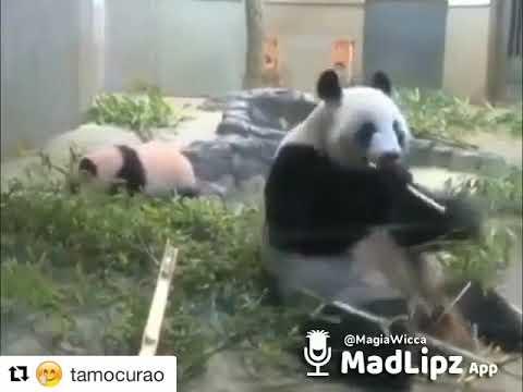 Tu no mete cabra x Panda 🐼🐼🐼🐼