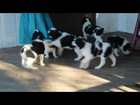 Springerdoodle Puppies For Sale