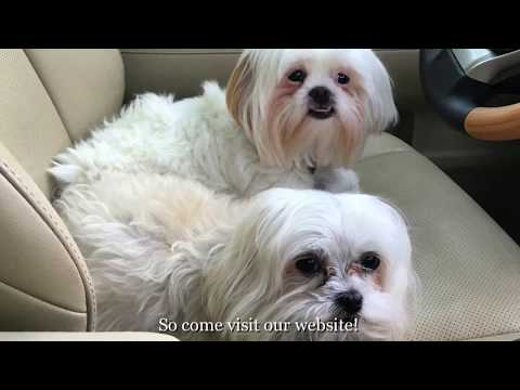 Welcome to Shih Tzu and Furbaby Rescue - A Small Dog Rescue Organization