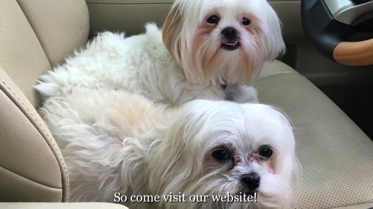 rescue shih tzu welcome to shih tzu and furbaby rescue a small dog 8041