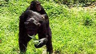 チンパンジーの赤ちゃん(多摩動物公園) ーどうぶつの赤ちゃん http://fr...
