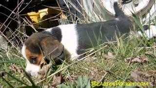 6 Week Old Pocket Beagle Puppy Exploring  Video New Litters Coming Soon