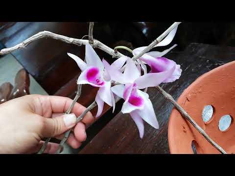 Ko bán ạ | Các mặt hoa dã hạc (Phi Điệp) Kon Tum đẹp mê hoặc |Orchid videó letöltés