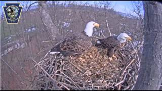 Bald eagle nest cam near Hanover captures nest building