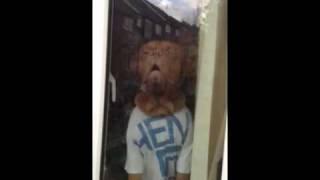 ****funny**** Dogue De Bordeaux  ( French Mastiff ) At Window