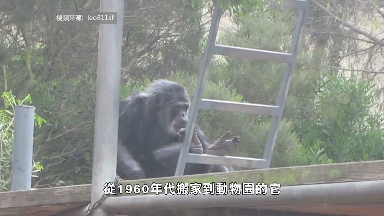【天下新聞】三藩市: 動物園黑猩猩 63 嵗高壽去世