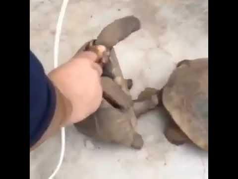 Dev kaplumbağaların ( erkek 370 disi 235  yasinda) çiftleşmesi. Zanzibar Tanzania