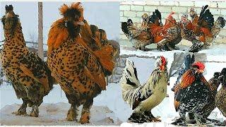 PAVLOV chickens  Altai Bantam Алтайская Бентамка ПАВЛОВСКАЯ ПОРОДА КУР